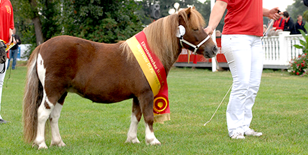 Deutsches Part-Bred Shetland Pony