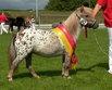 Deutsches Part-Bred Shetland Pony